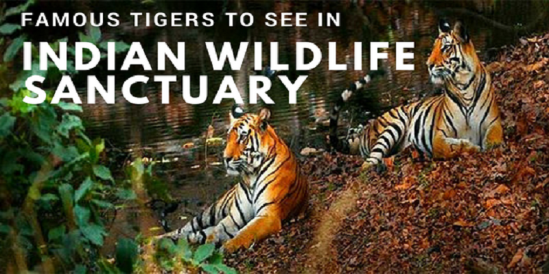 8 Most Famous Tigers to See in Indian Wildlife Sanctuary