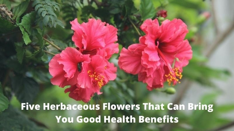 Five Herbaceous Flowers That Can Bring You Good Health Benefits