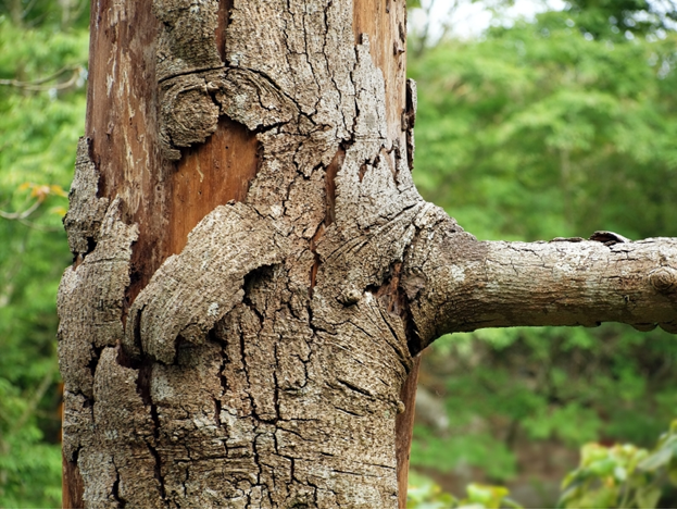 Tree aging